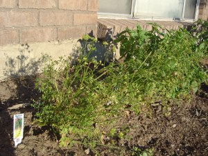 Cilantro that's gone to seed (as well as a sickly yellow which you can't tell in this photo...)